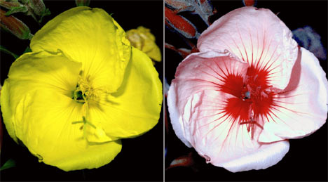 WHAT BEES SEE: THE COLORS ON THE SECOND FLOWER AREN'T REAL (BEES CAN'T SEE RED) BUT THE PATTERN IS