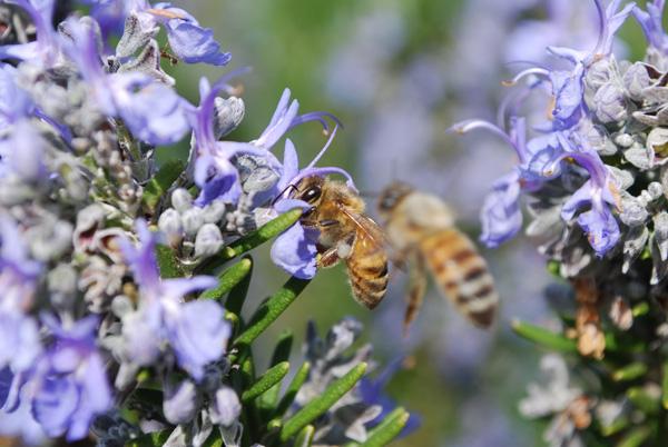 honeybee-rosemary03-lg